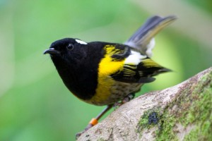 Hihi or stitchbird